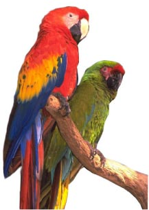 Image for PARROTS AND PARROT LIKE BIRDS